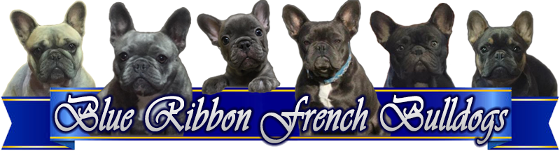 Blue Ribbon French Bulldogs header image